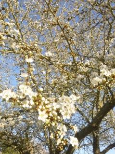 fleur de prunier au printemps touraine